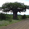 Large South African Tree
