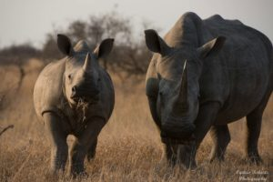 Rhino Adult and Young